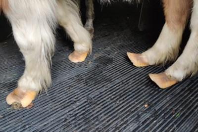 Opnieuw pony en ezel met misvormde hoeven opgevangen