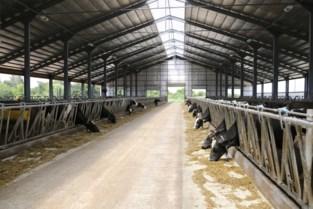 Tachtiger dood teruggevonden runderstal: slachtoffer vermoedelijk vertrappeld door koeien