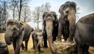 Een blik achter de schermen bij de olifantenclan in Pairi Daiza, de grootste van Europa die opnieuw een telg rijker is