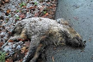 Dood everzwijn aan kasteeldomein bewijst opmars van wild varken, jagers willen nultolerantie