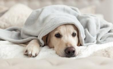 Hondenbrokken Pedigree teruggeroepen: kunnen gezondheid van uw hond schaden