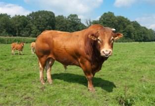 Brandweer en dierenarts opgeroepen voor losgeslagen stier
