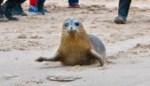 """Zeehondje Lio herstelde bij Sea Life van verwondingen, nu haalt hij Britse pers: """"Daarvoor doen we het"""""""