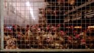 Vogelgriep vastgesteld op kalkoenbedrijf in Nederlandse provincie Noord-Brabant