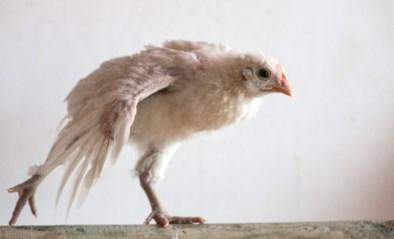 Duitsland verbiedt als eerste land massaslachting van mannelijke kuikens