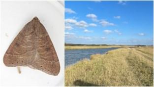 Uitzonderlijke nachtvlinder gespot in Zwin, nog maar tweede waarneming in West-Vlaanderen