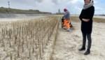 Helmgras moet duinvorming op strand stimuleren