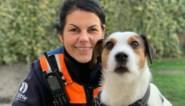 Maak kennis met Jim, de kleinste politiehond van België