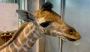 Bellewaerde verwelkomt girafje en geeft het een speciale, toepasselijke naam
