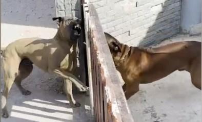 Deze honden lusten elkaar rauw, tot de poort opengaat