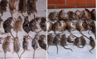 """Zelfs rattenvanger staat machteloos tegenover plaag in buurt: """"Vergif uit de handel is snoepgoed voor die beesten"""""""