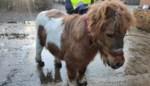 Verwaarloosde pony weggehaald in Schakkebroek