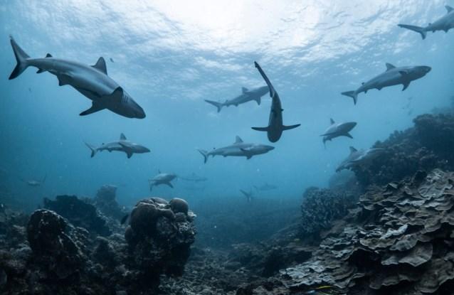 Aantal haaien en roggen in oceanen enorm gedaald