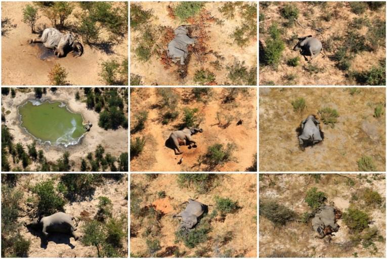 Vermoedelijke oorzaak van massale olifantensterfte in Botswana ontdekt