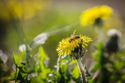 Natuurpunt voert onderzoek naar wilde bijen