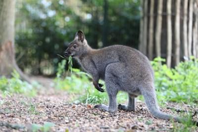 Twee wallaby's ontsnapt in Kuringen