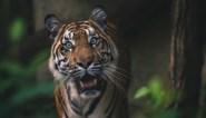 Medewerker gedood nadat twee tijgers ontsnappen uit Indonesische zoo