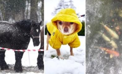 -10 graden en toch zie je nog dieren buiten: kunnen paarden en schapen daar echt tegen? En wat met je hond of vissen?