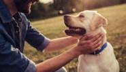 Opnieuw recordaantal honden geregistreerd in Vlaanderen