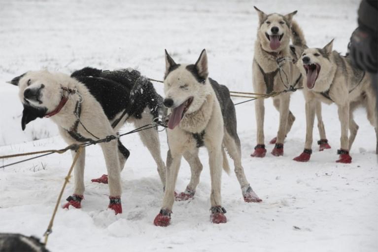 """Wereldkampioen sledehonden racen traint nu husky's in Vlaamse sneeuw: """"Als ze rillen, is dat van opwinding"""""""