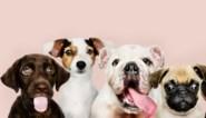 Coronacrisis zorgt voor recordaantal honden in Vlaanderen, en drie keer raden welk het populairste ras is
