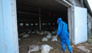 Variant van vogelgriepvirus voor het eerst overgesprongen op mensen in Rusland