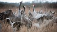 Honderden kraanvogels zorgen voor spektakel boven Kempen