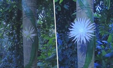 200.000 kijkers voor livestream van zeldzame cactus die op het punt staat te bloeien
