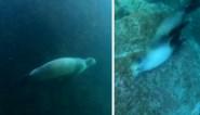 Ook zeeleeuwen hebben jeuk en zo lossen ze dat op