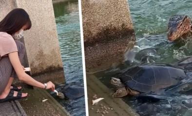 Vrouw wil wat vissen en schildpadden voederen, tot hongerige varaan om de hoek loert