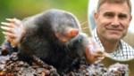 We vinden ze meestal niet zo fijn, maar onze dierendokter legt uit waarom een mol tóch goed nieuws is voor je tuin