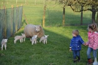"""Hobbykweker heeft straffe schapen: """"Op slag een drieling, vierling en vijfling rijker. En alles is 37 jaar geleden begonnen op mijn trouwdag"""""""