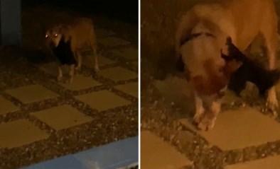 """Hond komt thuis met bizar gezelschap aan zijn halsband: """"Een van de gekste dingen die ik ooit zag"""""""