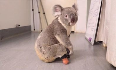 Deze schattige koala is de eerste ter wereld met een voetprothese
