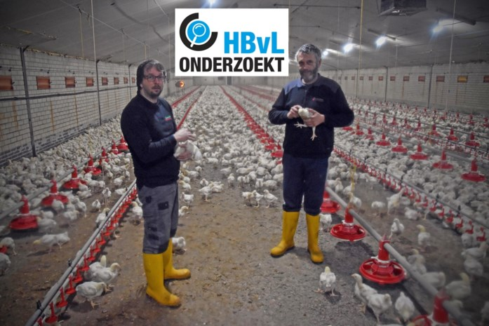 """Peerse kippenboeren mogen niet uitbreiden: """"Eén stal met 24.000 kippen niet rendabel"""""""