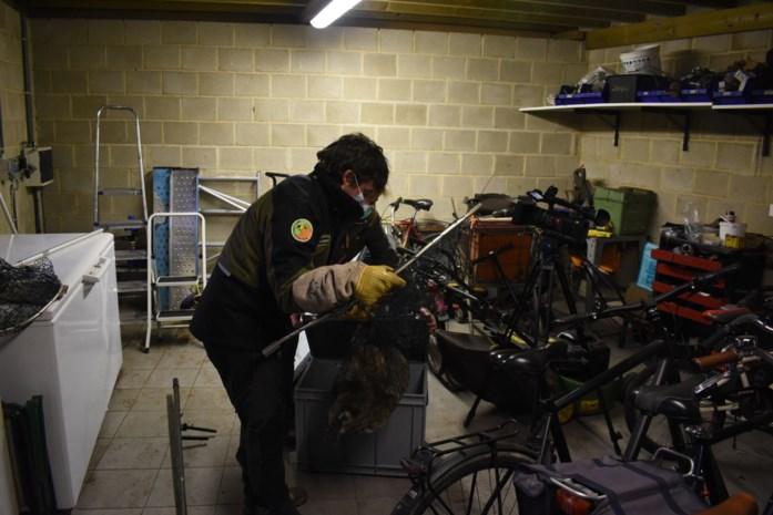 """Wasbeer in garage: """"Nu weten we waarom onze hond dagenlang onrustig was"""""""