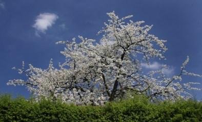 Het gaat weer vriezen, maar voorlopig geen paniek bij Limburgse fruitboeren
