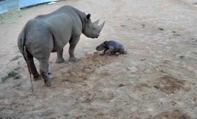 Schattig: pasgeboren neushoorn probeert voor het eerst recht te staan