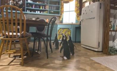 Pinguïns gaan op bezoek bij 'Friends'