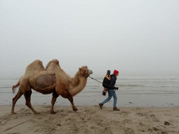 Dit is geen fata morgana en aan de kust schrikken ze zich een bult (of twee): kameel bezoekt onze hele kust