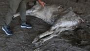 71 kilo zwerfvuil aangetroffen in maag van koe