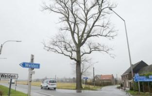 """Kapvergunning voor zieke boom aan 'de mode' botst op onbegrip en petitie: """"Dit is om te janken"""""""
