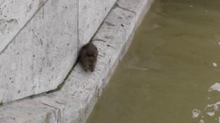 Goed nieuws: hier zijn de ratten in de riolen alvast coronavrij