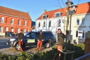 Kooigem heeft zijn boom terug... maar het is geen kastanje
