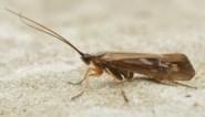 Uitgestorven gewaande insectensoort duikt na ruim 100 jaar weer op in Groot-Brittannië