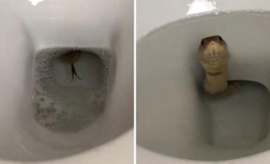 Man schrikt zich rot wanneer hij tong van dodelijke slang uit wc ziet piepen