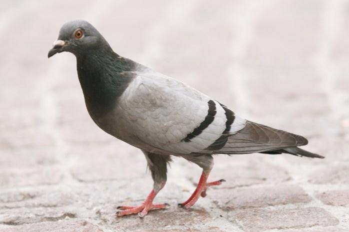 Springen, wandelen, waggelen: waarom loopt de ene vogel over het gras en huppelt de andere?
