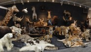 """""""Tientallen leeuwen, tijgers en zebra's spoorloos"""": voor drie miljoen euro aan opgezette dieren gestolen bij miljonair"""