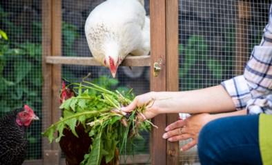 Zelf kippen houden: hoe begin je eraan? Wat brengt het op? En wat met de buren?