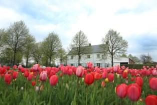 Tulpenpluk in Berendrecht afgelast